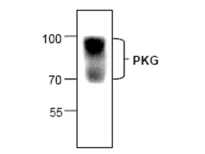 anti CGK1 (N-term)