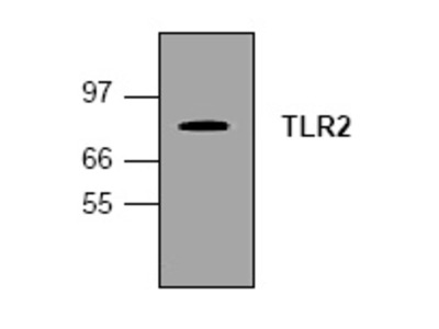 anti CD282 / TLR2