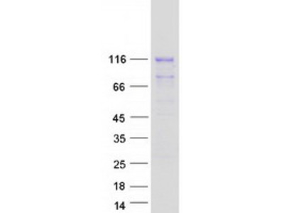 AMOTL2 MS Standard C13 and N15-labeled recombinant protein (NP_057285)