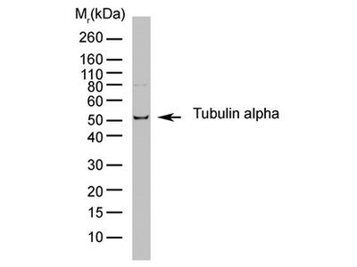 anti alpha Tubulin / TUBA1B (Tyr-Tubulin)