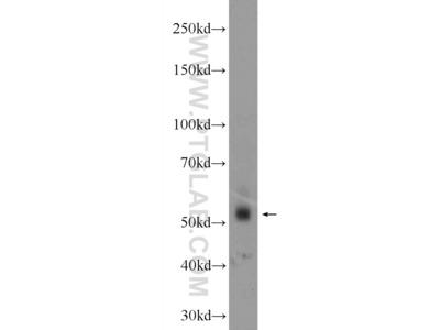 ZNF71 antibody