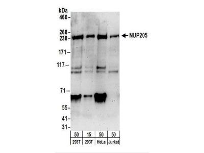NUP205 Antibody