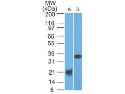 Mouse Monoclonal Siglec-3 / CD33 Antibody