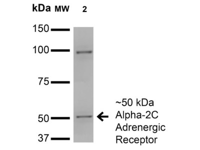 Mouse Monoclonal alpha-2C Adrenergic R / ADRA2C Antibody
