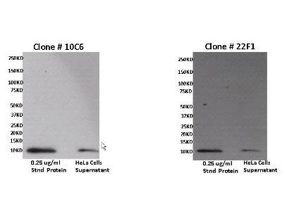 CXCL11 / I-TAC Antibody (10C6)