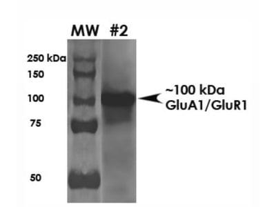 GluR1 Antibody (S355-1)