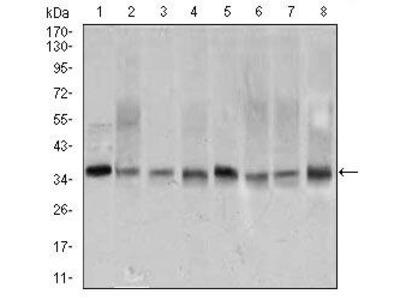 PCNA Monoclonal Antibody (7H4F8)