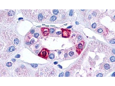 HTR1F Polyclonal Antibody