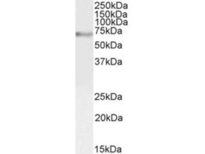 Goat Polyclonal c-Myb Antibody