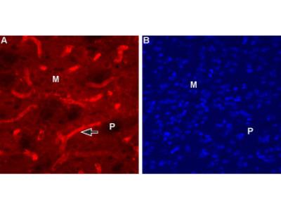 Anti-CHRM1 (443-458) Antibody