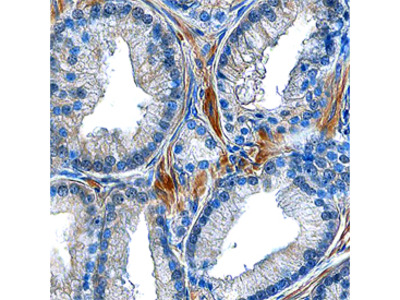 Atrial Natriuretic Peptide /ANP Antibody