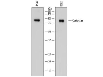Cortactin Antibody