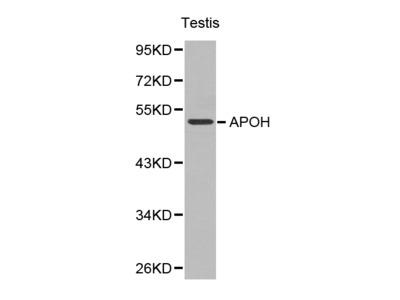 APOH / Apolipoprotein H Antibody
