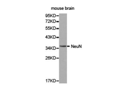 RBFOX3 / NEUN Antibody