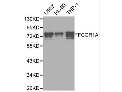 FCGR1A / CD64 Antibody