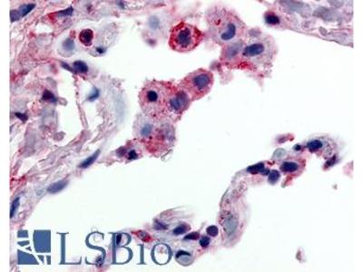 FFAR2 / GPR43 Polyclonal Antibody