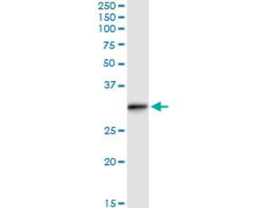 anti-RAB, Member of RAS Oncogene Family-Like 2B (RABL2B) (AA 1-229), (full length) antibody
