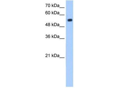 anti-Zinc Finger Protein Interacting with K Protein 1 Homolog (Mouse) (ZIK1) antibody