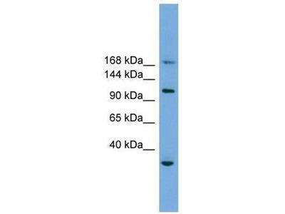 anti-Pleckstrin Homology-Like Domain, Family B, Member 1 (PHLDB1) antibody