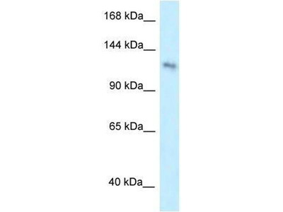 anti-Pleckstrin Homology Domain Containing, Family A Member 7 (PLEKHA7) antibody