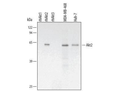 Human / Mouse / Rat Akt2 Antibody