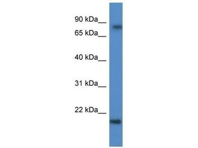 anti-Keratin Associated Protein 1-5 (KRTAP1-5) antibody