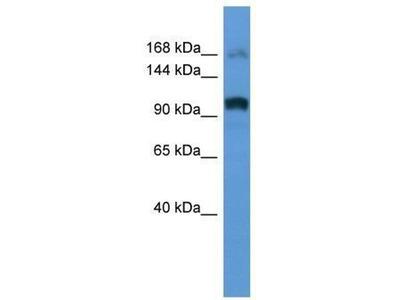 anti-ARHGEF2 antibody