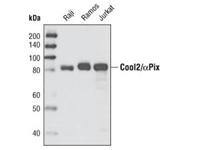 Cool2/αPix (C23D2) Rabbit mAb