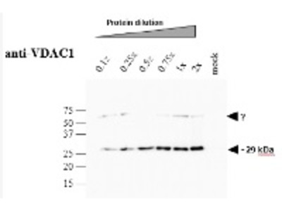 Anti- VDAC1 ; voltage-dependent anion-selective channel protein 1