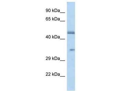 anti-Olfactory Receptor, Family 2, Subfamily L, Member 8 (OR2L8) antibody