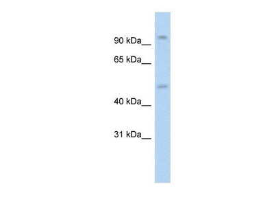 anti-Nuclear Receptor Subfamily 3, Group C, Member 1 (Glucocorticoid Receptor) (NR3C1) antibody