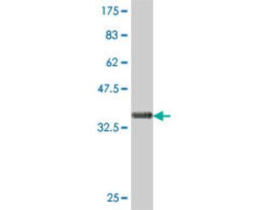 anti-CKS2 (AA 1-79), (partial) antibody