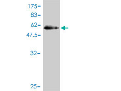 anti-RAB, Member of RAS Oncogene Family-Like 2B (RABL2B) (AA 1-229), (full length) antibody