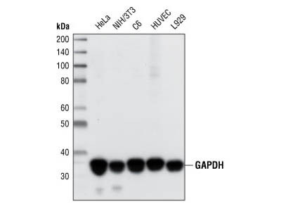 Western Blot of HeLa Whole-Cell Lysates Using GAPDH Antibody