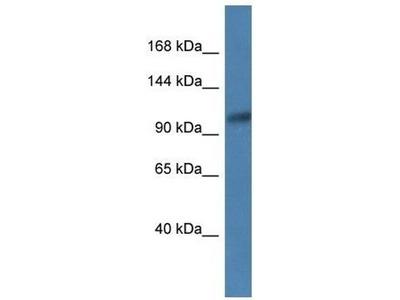 anti-ANPEP (CD13) antibody