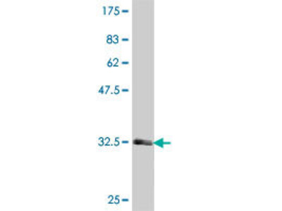 anti-Serotonin Receptor 1F (HTR1F) (AA 203-279), (partial) antibody