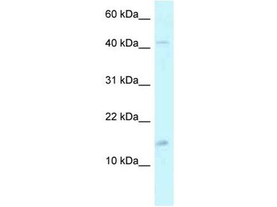 anti-PCBD2 Antibody