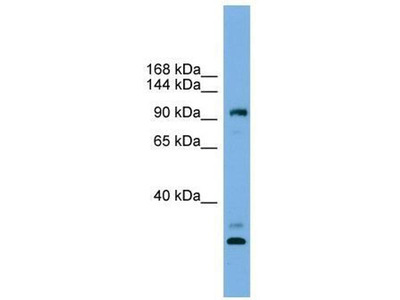 anti-Coiled-Coil Domain Containing 110 (CCDC110) antibody