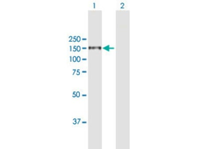 anti-Integrin, alpha 4 (Antigen CD49D, alpha 4 Subunit of VLA-4 Receptor) (ITGA4) (AA 1-1032), (full length) antibody