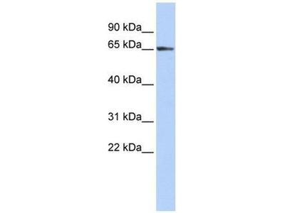anti-ZFP3 Zinc Finger Protein (ZFP3) antibody
