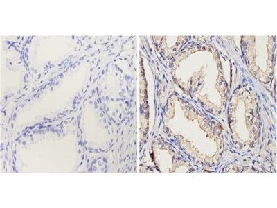 Mouse Monoclonal Cytochrome P450 1A1 / 1A2 Antibody
