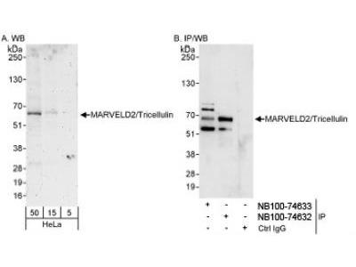 MARVELD2 Antibody