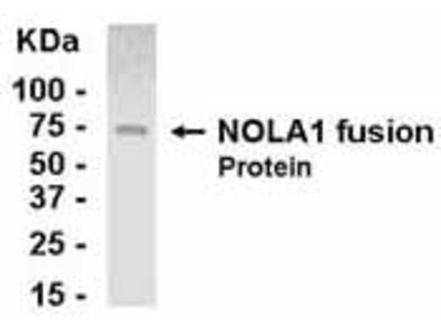 Chicken Polyclonal NOLA1 Antibody