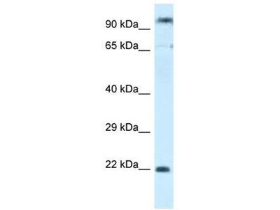 anti-POLR3GL antibody