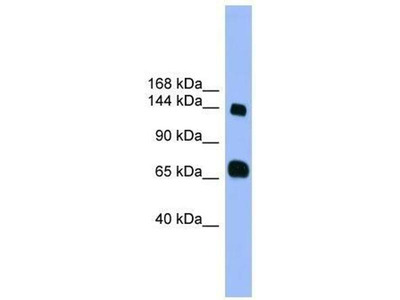 anti-Pleckstrin Homology Domain Containing, Family G (With RhoGef Domain) Member 2 (PLEKHG2) antibody