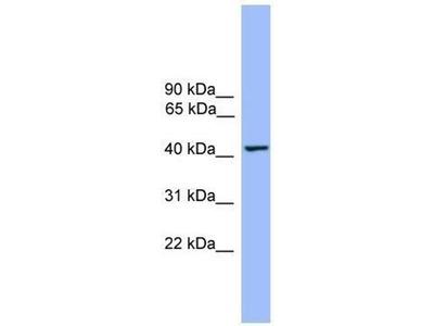 anti-THEG Antibody