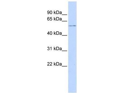 anti-G protein pathway suppressor 1 (FUS6) antibody