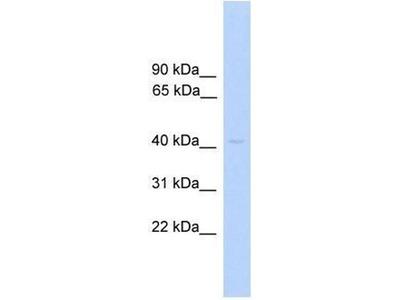 anti-PRKAR1A (prkar1aa) antibody