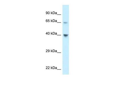 anti-Atypical Chemokine Receptor 4 (ACKR4) (C-Term) antibody