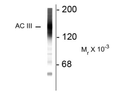 anti Adenylate cyclase type 3 (C-term)